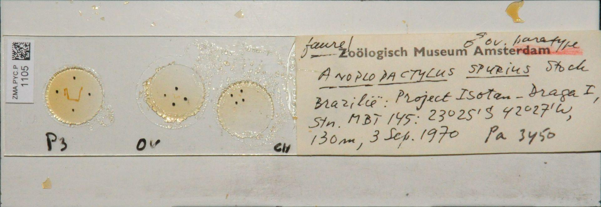 ZMA.PYC.P.1105 | Anoplodactylus spurius Stock