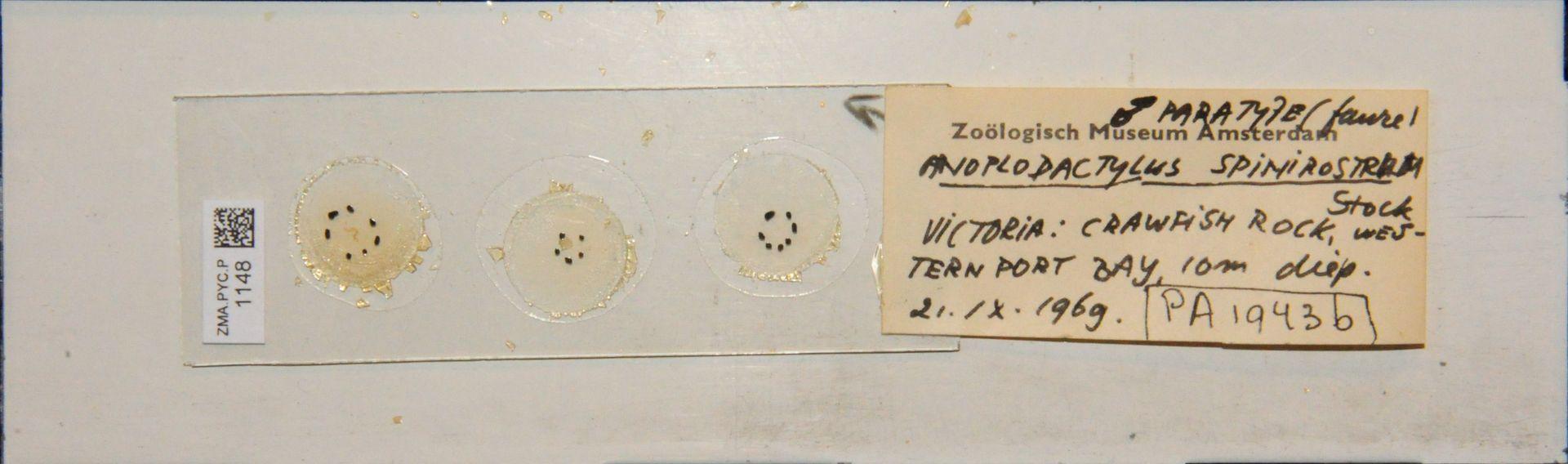 ZMA.PYC.P.1148 | Anoplodactylus spinirostrum Stock