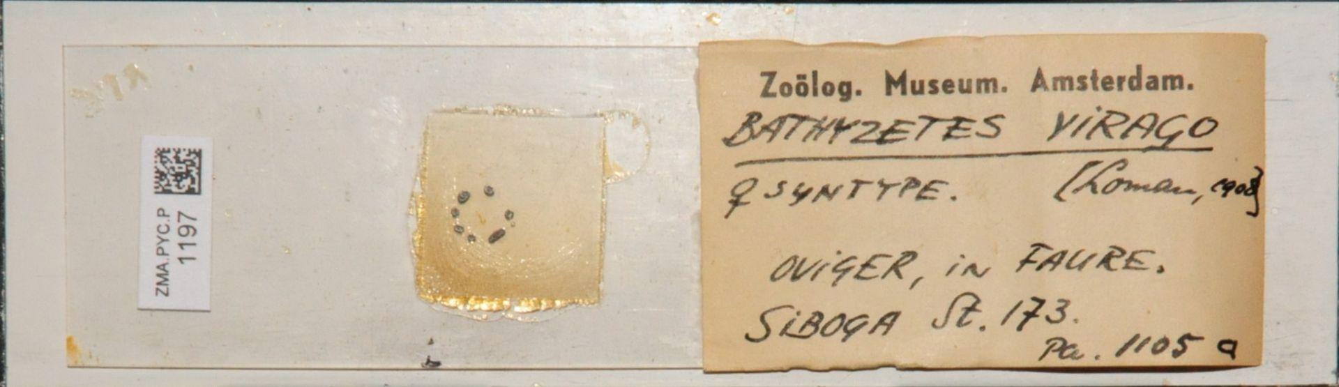 ZMA.PYC.P.1197 | Bathyzetes virago Loman, 1908