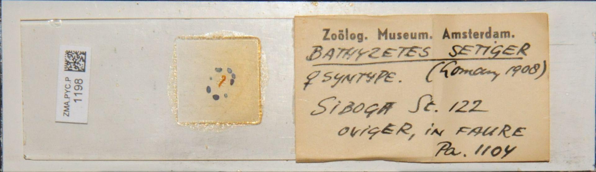 ZMA.PYC.P.1198   Bathyzetes setiger Loman, 1908