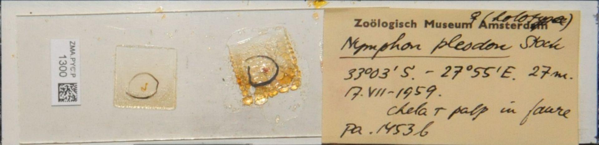 ZMA.PYC.P.1300 | Nymphon pleodon Stock