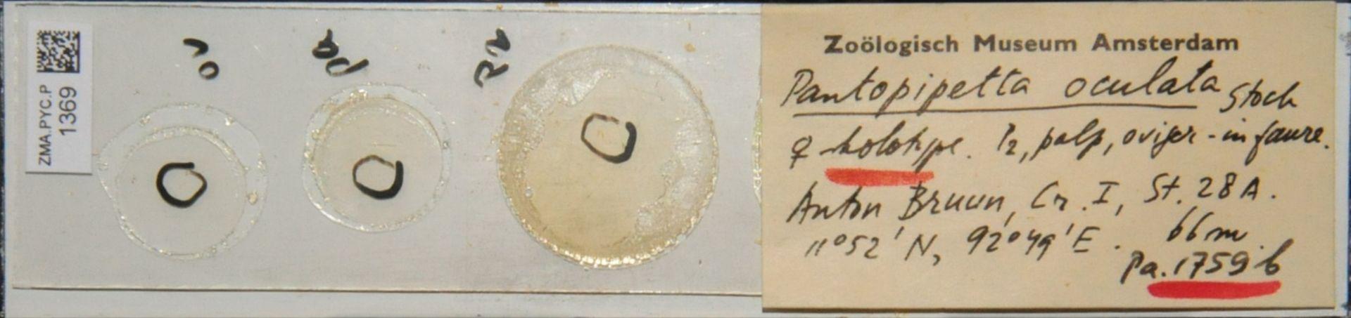 ZMA.PYC.P.1369 | Pantopipetta oculata Stock