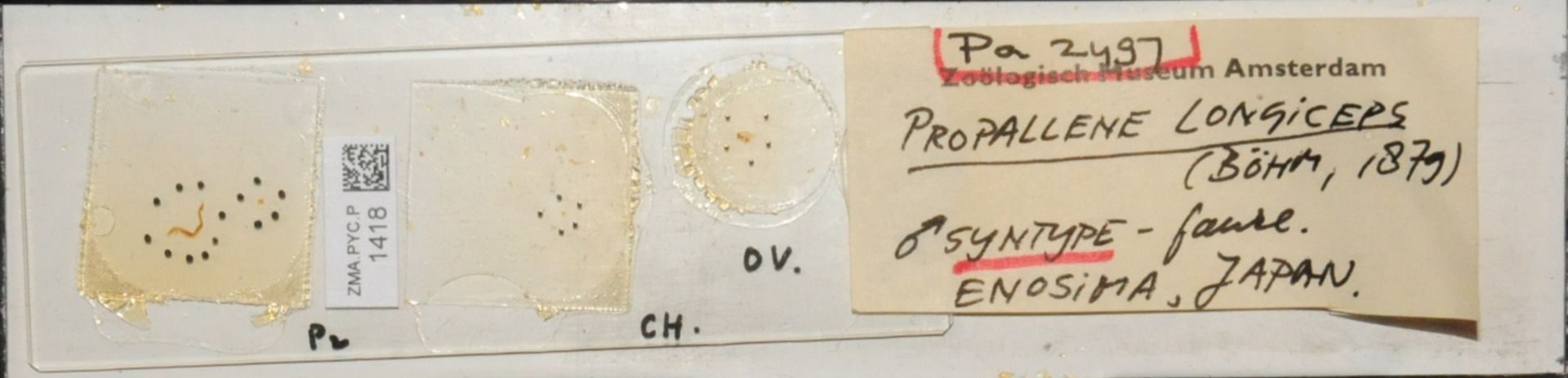 ZMA.PYC.P.1418   Propallene longiceps (Böhm, 1879)