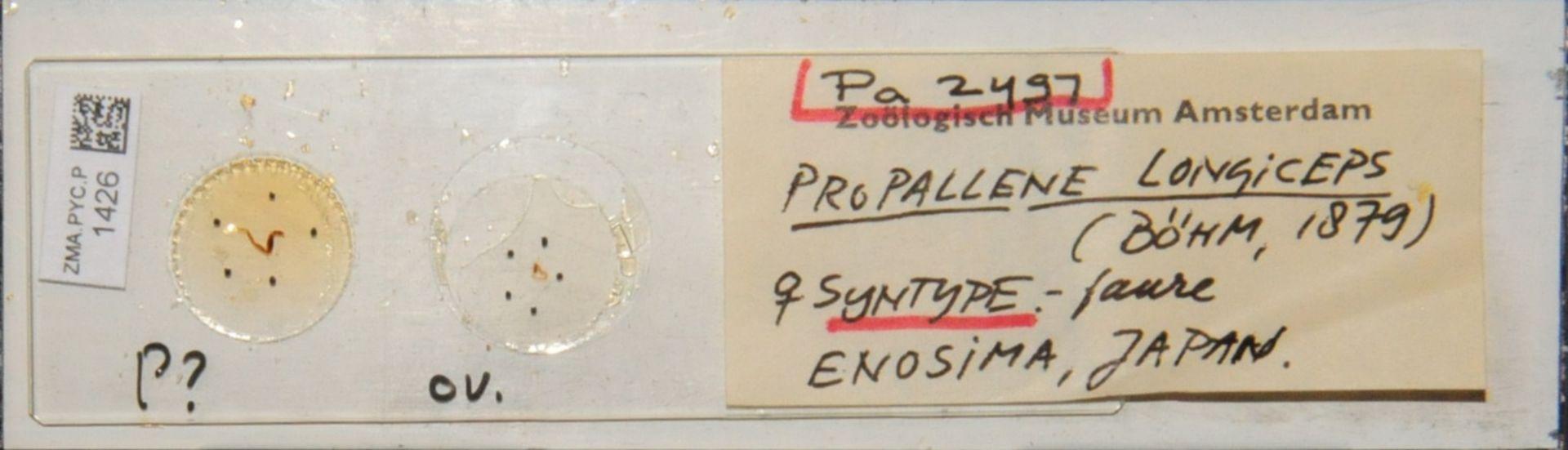 ZMA.PYC.P.1426 | Propallene longiceps (Böhm, 1879)