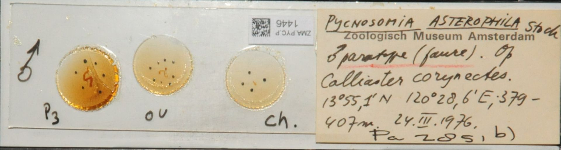 ZMA.PYC.P.1446 | Pycnosomia asterophila Stock