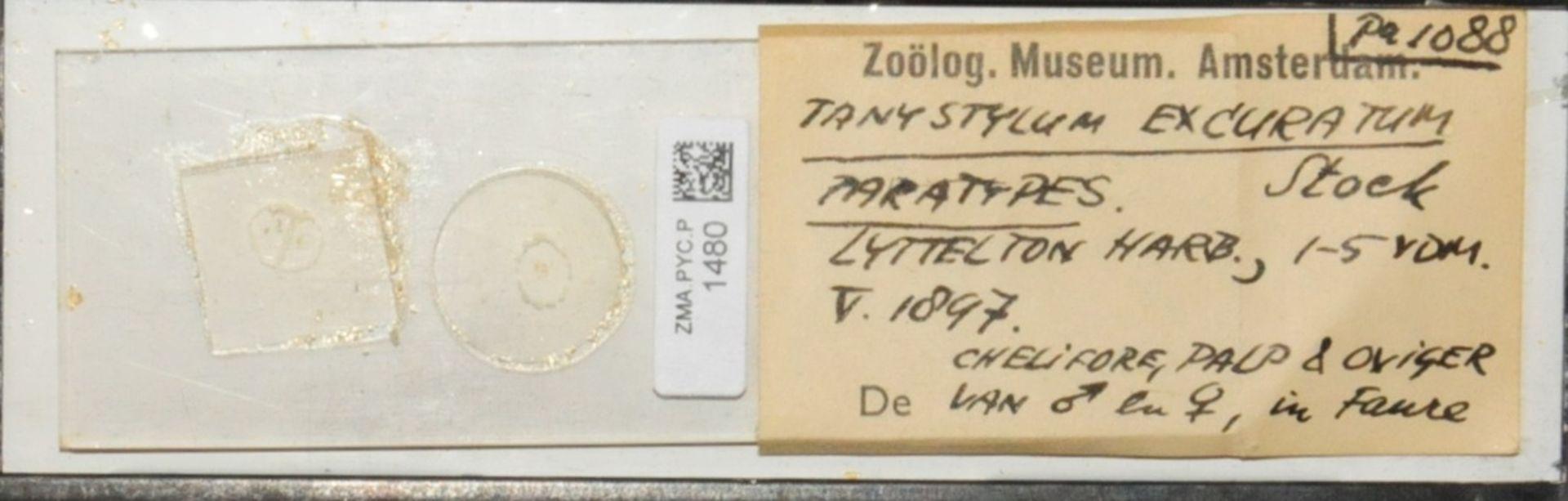 ZMA.PYC.P.1480 | Tanystylum excuratum Stock