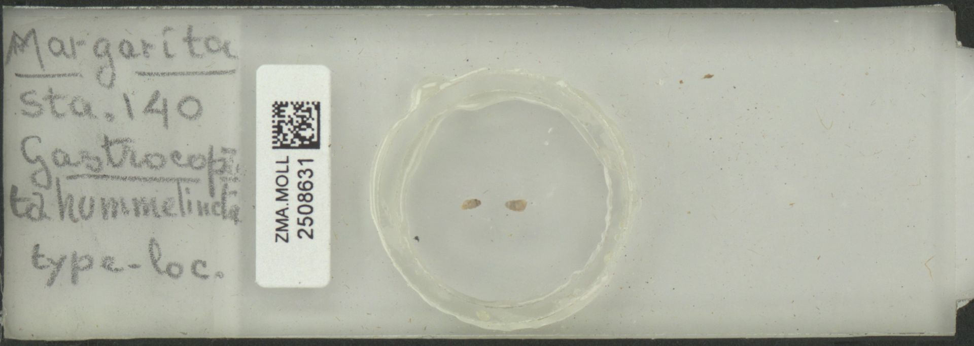 ZMA.MOLL.2508631 | Gastrocopta hummelincki Haas, 1960