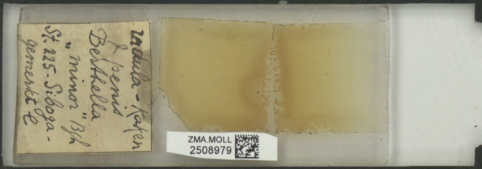 ZMA.MOLL.2508979 | Berthella minor Bergh, 1905