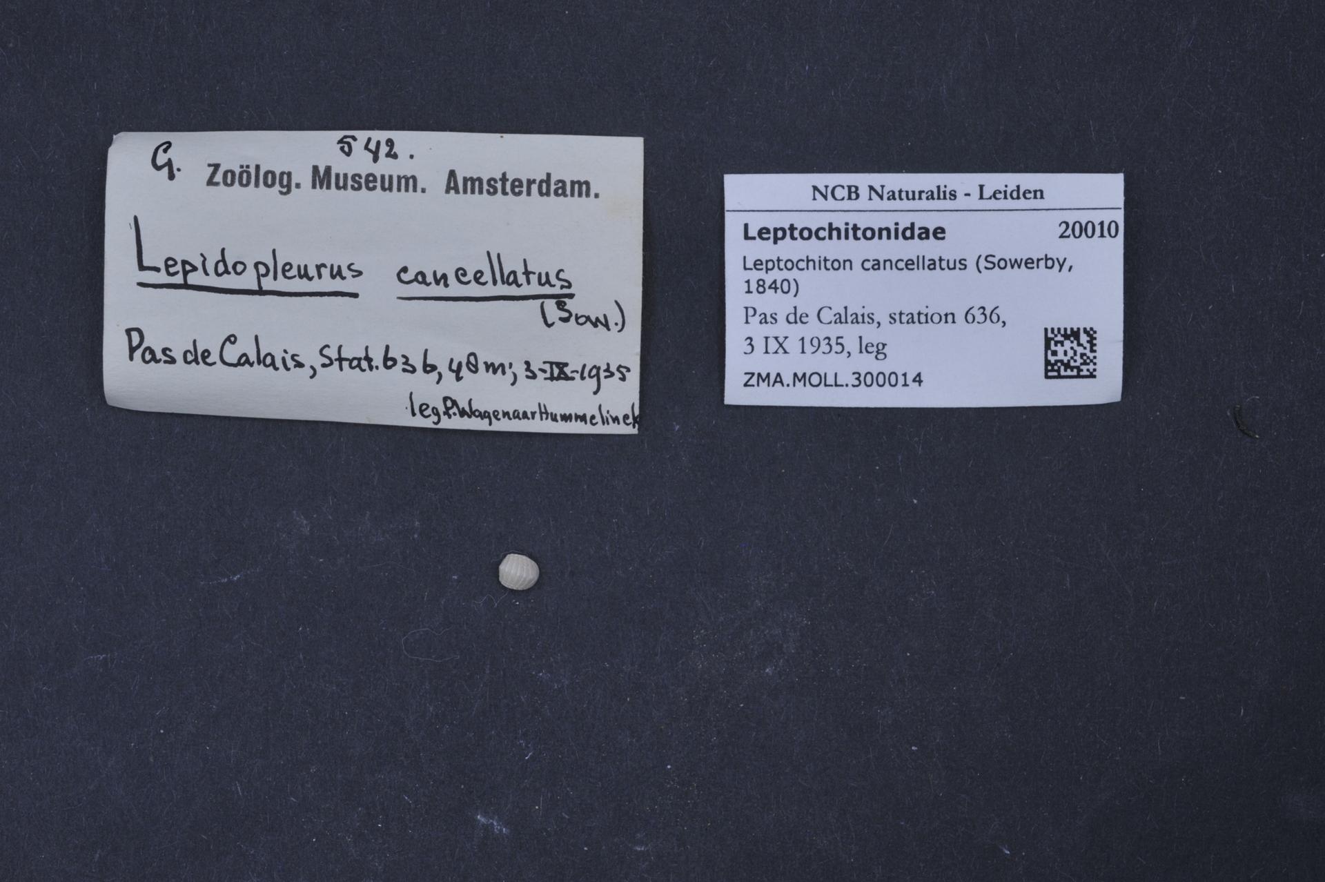 ZMA.MOLL.300014 | Leptochiton cancellatus Sowerby, 1840