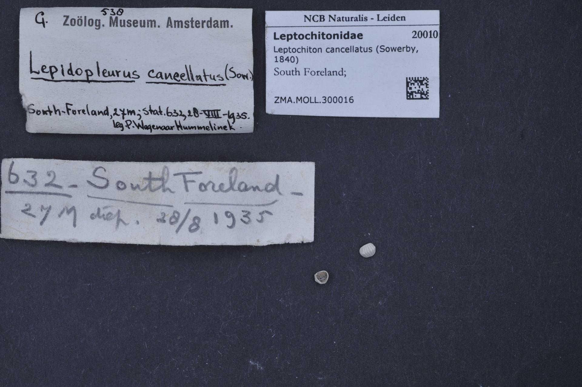 ZMA.MOLL.300016 | Leptochiton cancellatus Sowerby, 1840