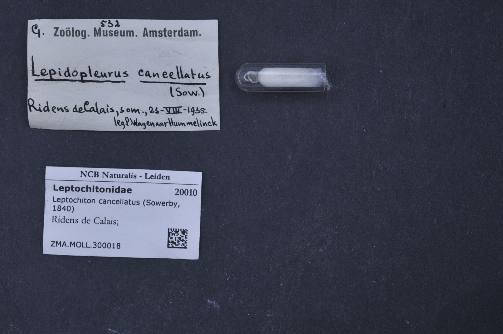 ZMA.MOLL.300018 | Leptochiton cancellatus Sowerby, 1840