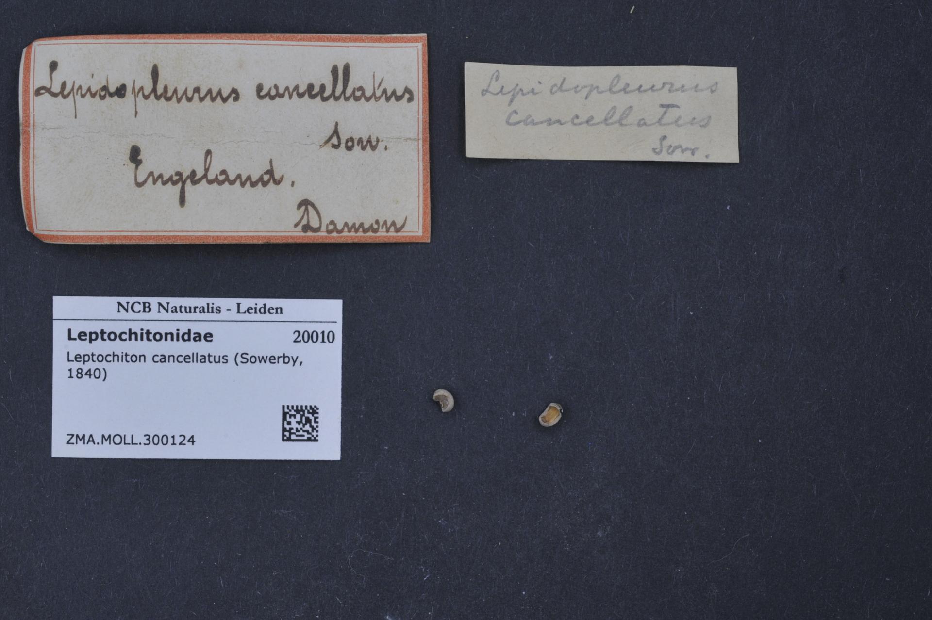 ZMA.MOLL.300124 | Leptochiton cancellatus Sowerby, 1840