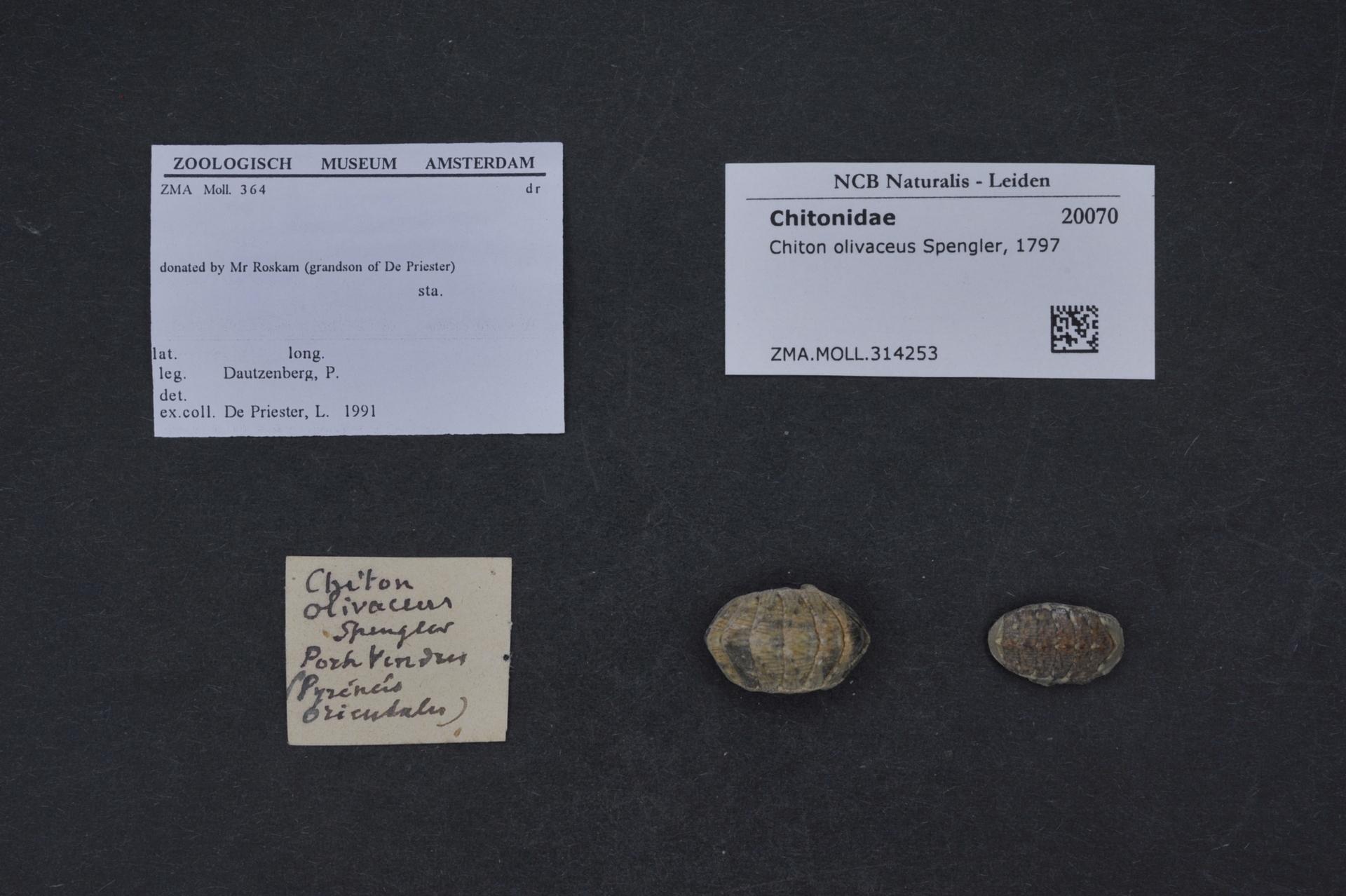 ZMA.MOLL.314253 | Chiton olivaceus Spengler, 1797